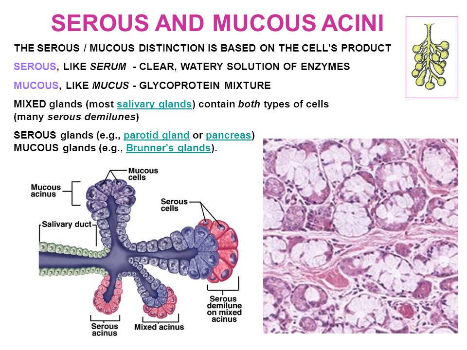 SEROUS AND MUCOUS ACINI THE SEROUS / MUCOUS DISTINCTION IS BASED ON THE CELL S PRODUCT SEROUS, LIKE SERUM - CLEAR, WATERY SOLUTION OF ENZYMES MUCOUS, LIKE MUCUS - GLYCOPROTEIN MIXTURE MIXED glands (most salivary glands) contain both types of cellssalivary glands (many serous demilunes) SEROUS glands (e.g., parotid gland or pancreas)parotid glandpancreas MUCOUS glands (e.g., Brunner s glands).Brunner s glands