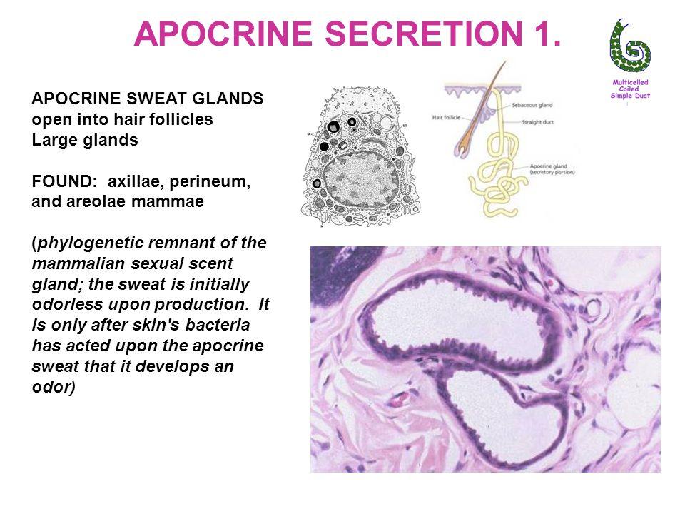 APOCRINE SECRETION 1. APOCRINE SWEAT GLANDS open into hair follicles Large glands FOUND: axillae, perineum, and areolae mammae (phylogenetic remnant o