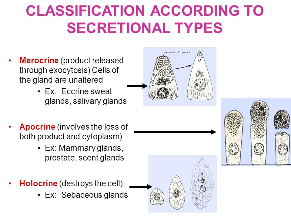 Merocrine (product released through exocytosis) Cells of the gland are unaltered Ex: Eccrine sweat glands, salivary glands Apocrine (involves the loss of both product and cytoplasm) Ex: Mammary glands, prostate, scent glands Holocrine (destroys the cell) Ex: Sebaceous glands CLASSIFICATION ACCORDING TO SECRETIONAL TYPES
