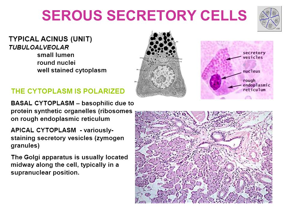 SEROUS SECRETORY CELLS TYPICAL ACINUS (UNIT) TUBULOALVEOLAR small lumen round nuclei well stained cytoplasm THE CYTOPLASM IS POLARIZED BASAL CYTOPLASM – basophilic due to protein synthetic organelles (ribosomes on rough endoplasmic reticulum APICAL CYTOPLASM - variously- staining secretory vesicles (zymogen granules) The Golgi apparatus is usually located midway along the cell, typically in a supranuclear position.