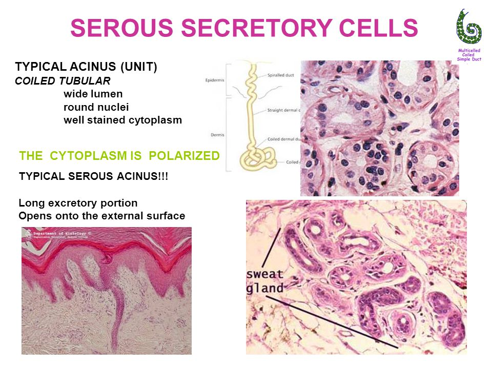 SEROUS SECRETORY CELLS TYPICAL ACINUS (UNIT) COILED TUBULAR wide lumen round nuclei well stained cytoplasm THE CYTOPLASM IS POLARIZED TYPICAL SEROUS ACINUS!!.