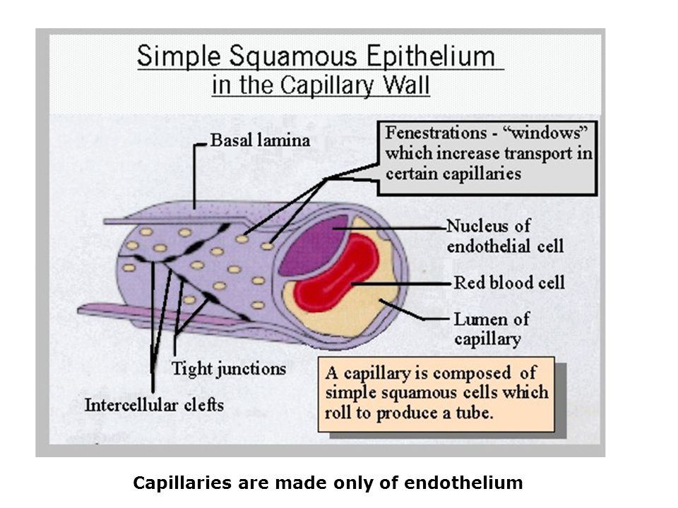 Capillaries are made only of endothelium