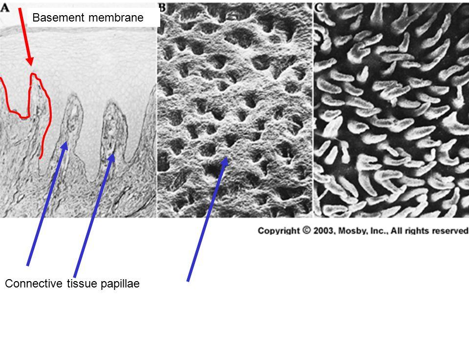 Connective tissue papillae Basement membrane