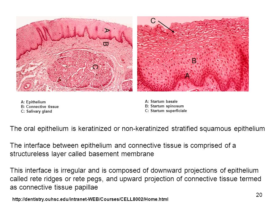 20 The oral epithelium is keratinized or non-keratinized stratified squamous epithelium The interface between epithelium and connective tissue is comp