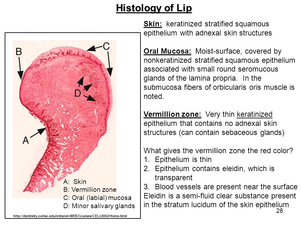 26 Histology of Lip A: Skin B: Vermillion zone C: Oral (labial) mucosa D: Minor salivary glands Skin: keratinized stratified squamous epithelium with