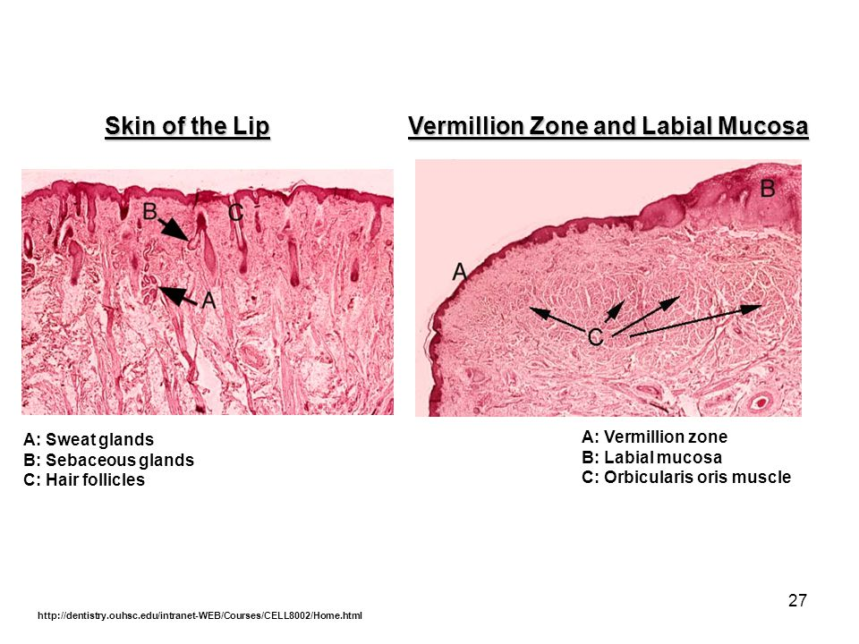27 Skin of the Lip Vermillion Zone and Labial Mucosa A: Sweat glands B: Sebaceous glands C: Hair follicles A: Vermillion zone B: Labial mucosa C: Orbi