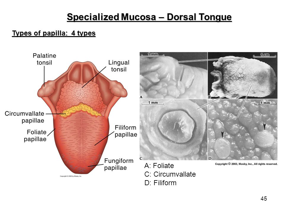 45 Specialized Mucosa – Dorsal Tongue Types of papilla: 4 types A: Foliate C: Circumvallate D: Filiform
