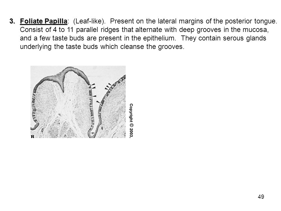 49 3.Foliate Papilla 3.Foliate Papilla: (Leaf-like). Present on the lateral margins of the posterior tongue. Consist of 4 to 11 parallel ridges that a