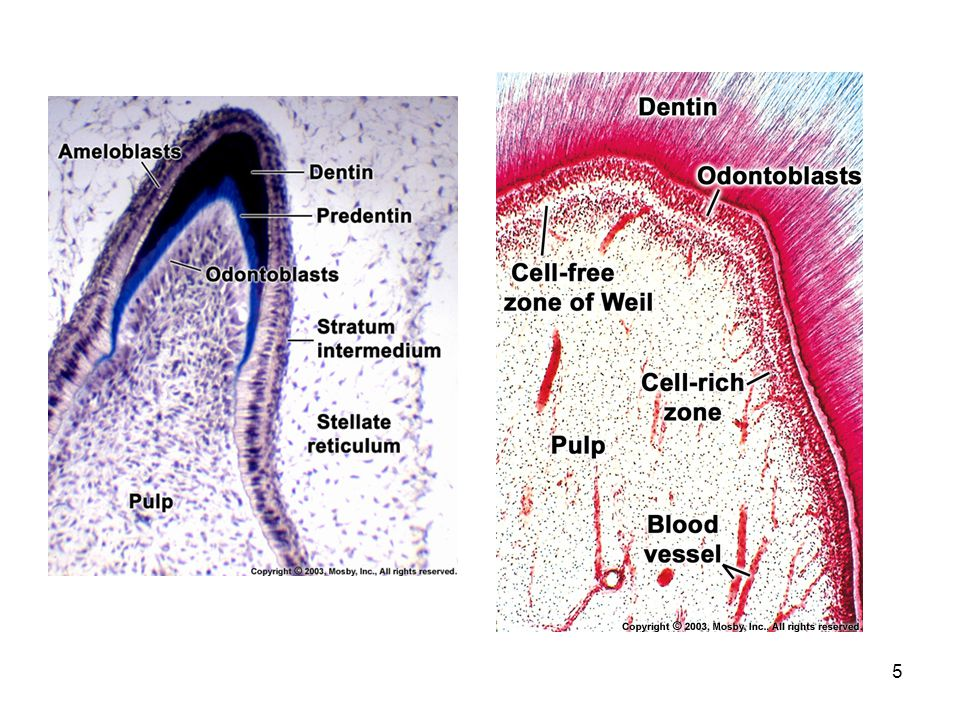 16 How is the oral mucosa different from skin.
