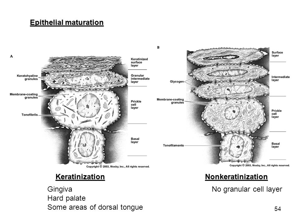 54 Epithelial maturation KeratinizationNonkeratinization Gingiva Hard palate Some areas of dorsal tongue No granular cell layer