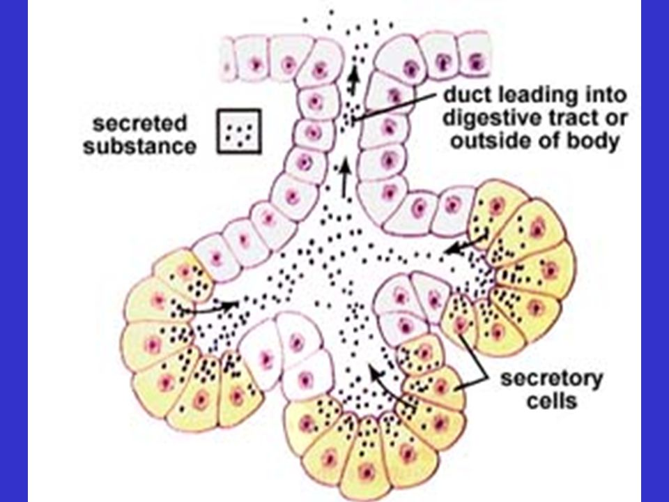 Glands – Exocrine: secretion into a body cavity or onto a body surface