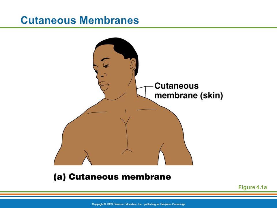 Copyright © 2009 Pearson Education, Inc., publishing as Benjamin Cummings Cutaneous Membranes Figure 4.1a