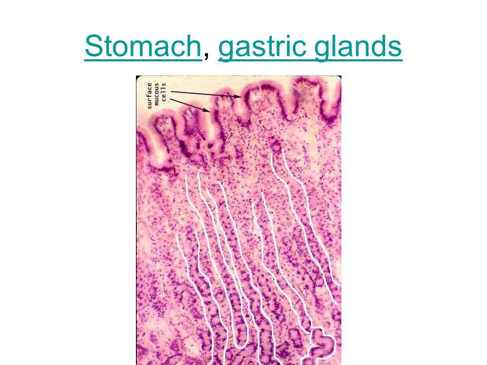 StomachStomach, gastric glandsgastric glands