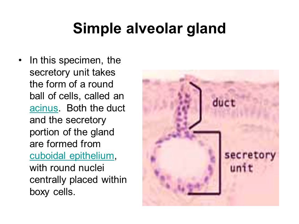 Simple alveolar gland In this specimen, the secretory unit takes the form of a round ball of cells, called an acinus.