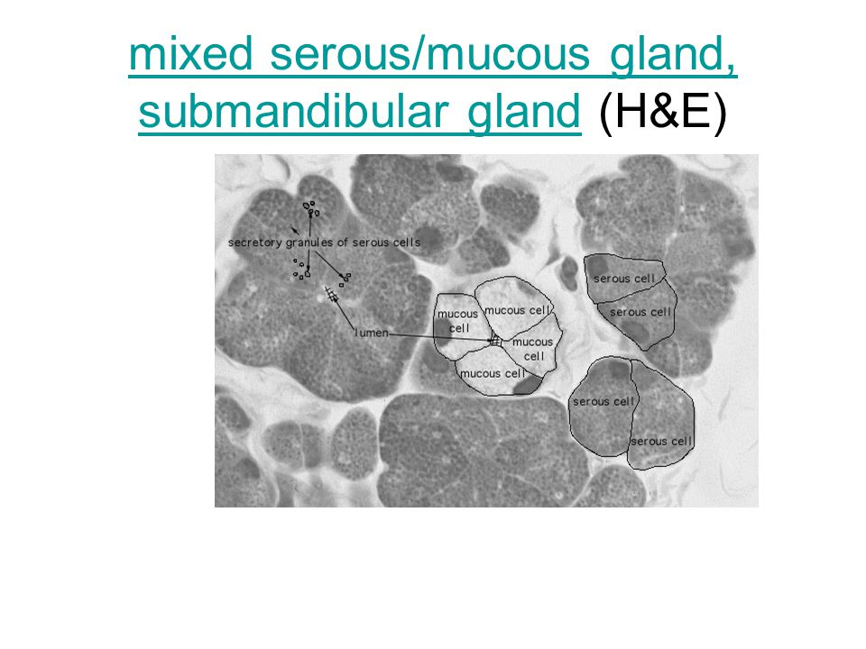 mixed serous/mucous gland, submandibular glandmixed serous/mucous gland, submandibular gland (H&E)