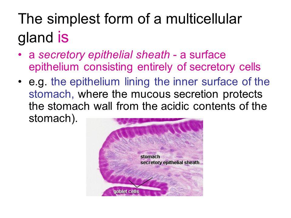 fundic stomachfundic stomach (H&E) Gastric pit lumen Gastric glands submucosa Muscularis mucosa Muscularis externa