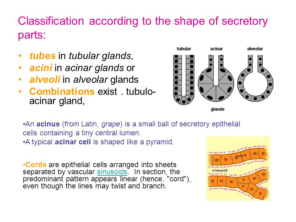 Drawings of compound tubulo-alveolar glands -- showing the branching of their duct system -- and a few secretory end- pieces (alveoli).