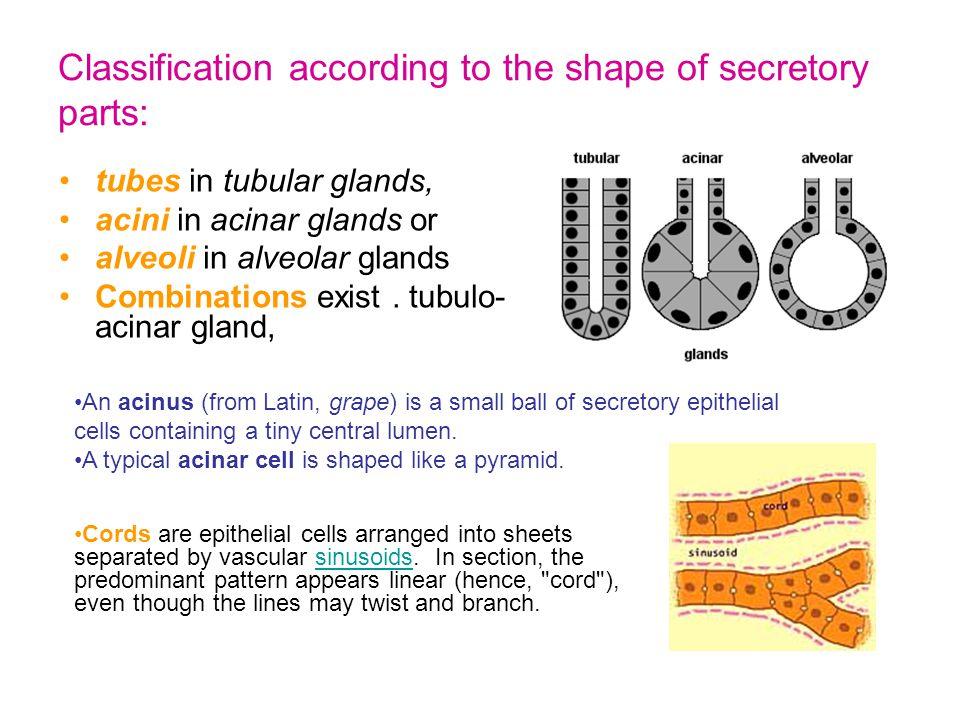 multicellular: pure serous gland, parotid glandmulticellular: pure serous gland, parotid gland (H&E)