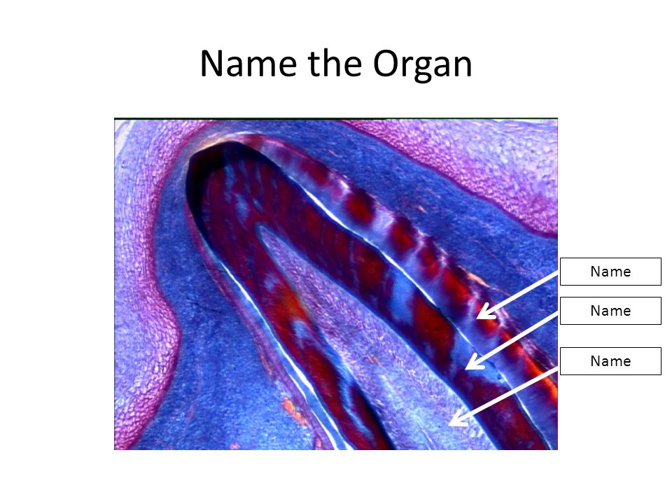 Ovary Corpus luteum
