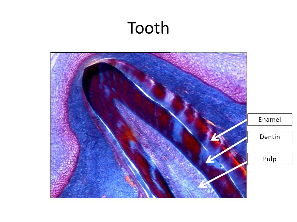Tooth Enamel Dentin Pulp