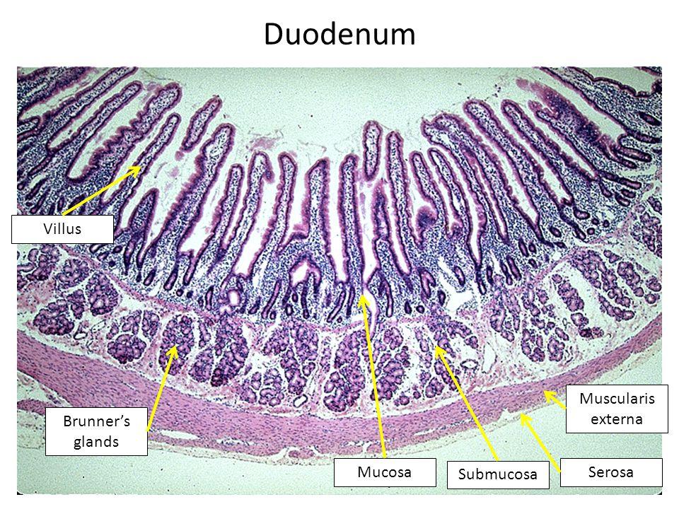 Duodenum Villus Mucosa Submucosa Muscularis externa Serosa Brunner's glands