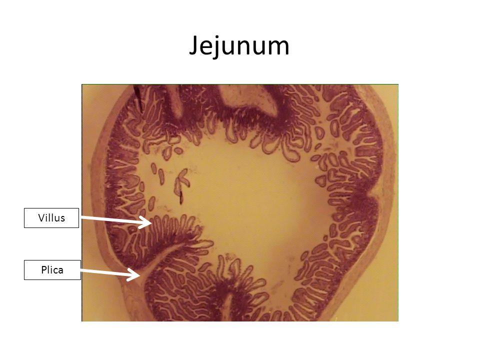 Jejunum Plica Villus