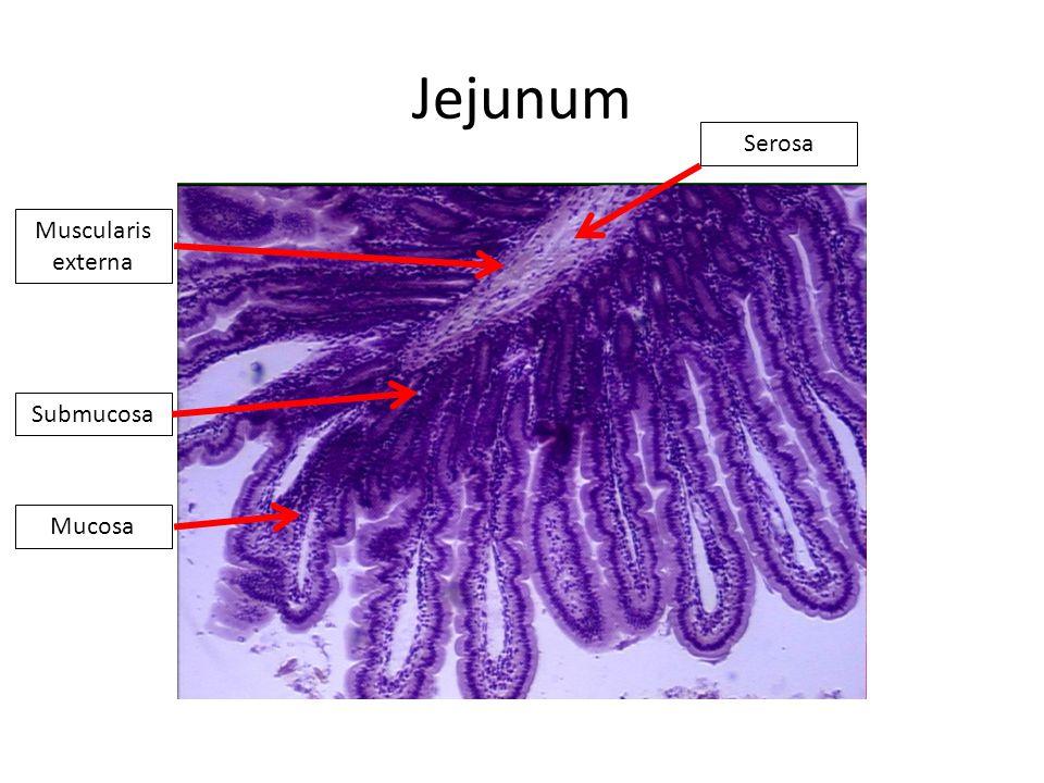 Jejunum Mucosa Submucosa Muscularis externa Serosa