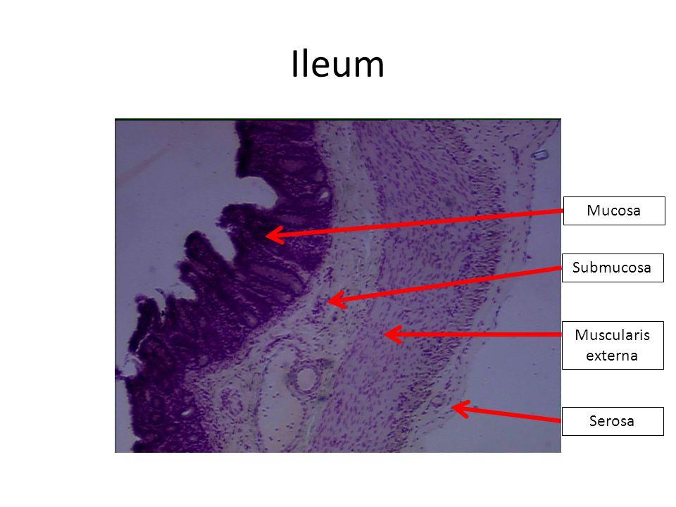Ileum Mucosa Submucosa Muscularis externa Serosa