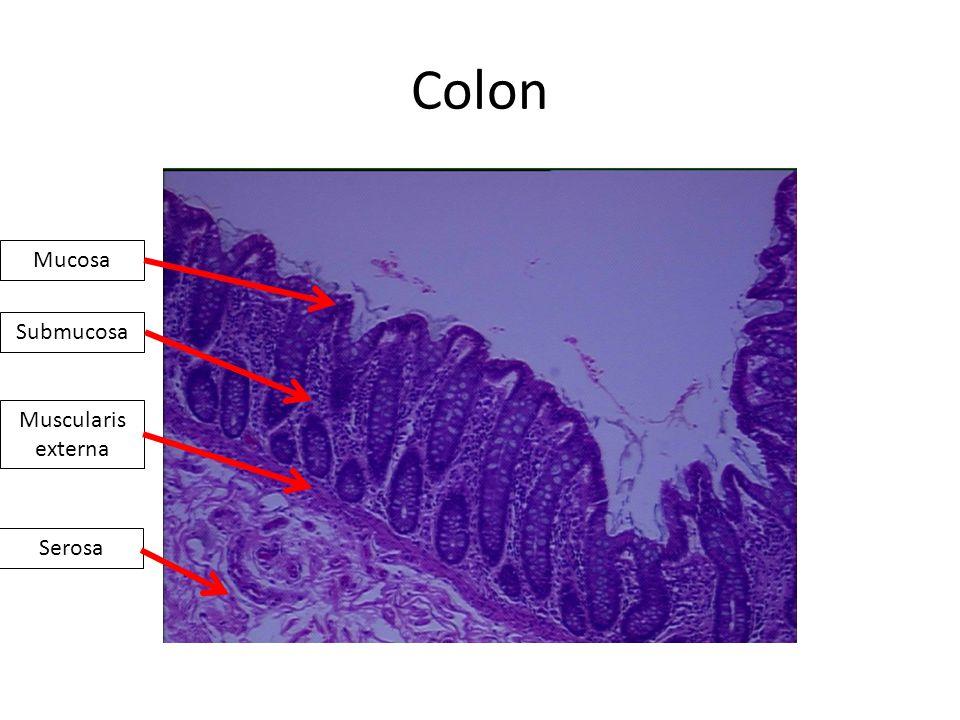 Colon Mucosa Submucosa Muscularis externa Serosa