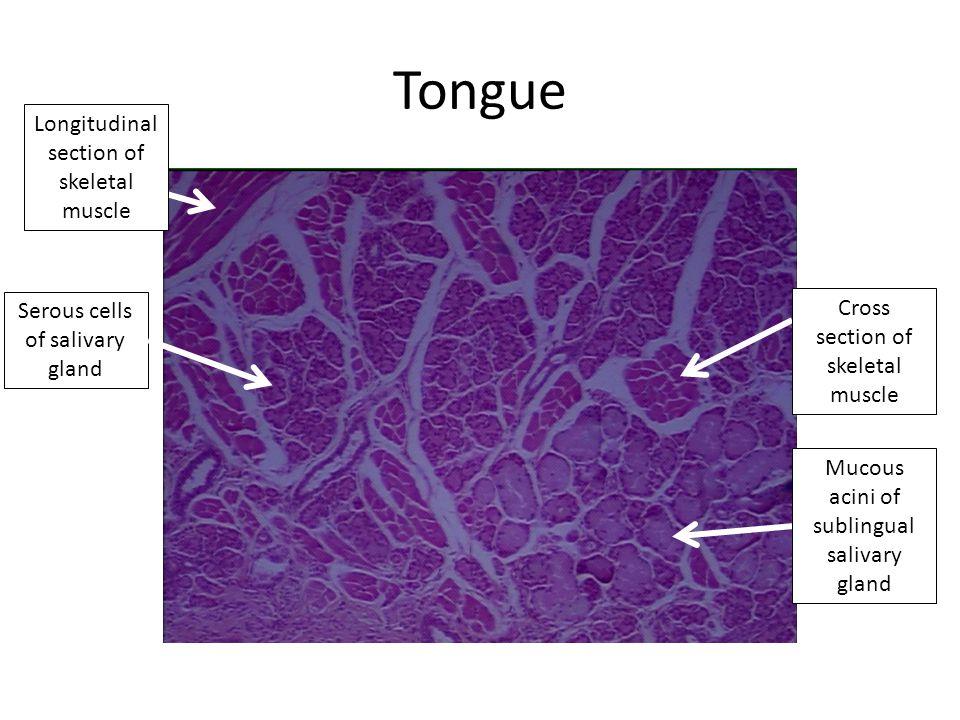 Tongue Cross section of skeletal muscle Mucous acini of sublingual salivary gland Longitudinal section of skeletal muscle Serous cells of salivary gland