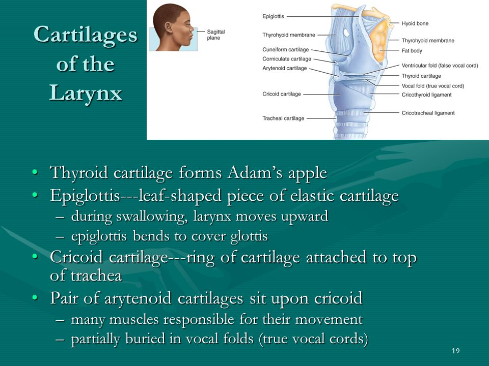 19 Cartilages of the Larynx Thyroid cartilage forms Adam's appleThyroid cartilage forms Adam's apple Epiglottis---leaf-shaped piece of elastic cartila