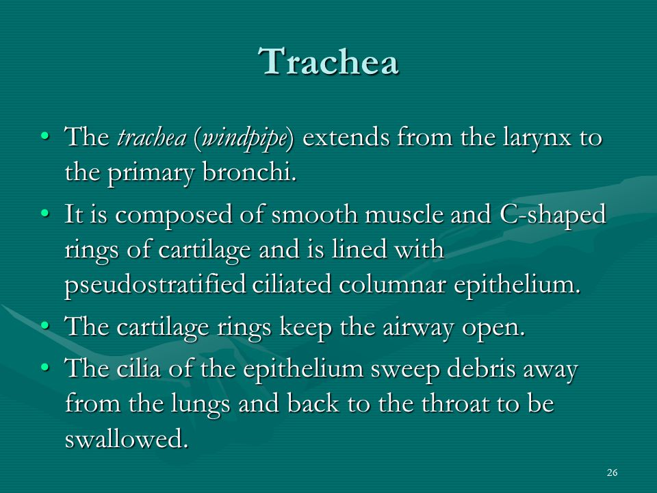 26 Trachea The trachea (windpipe) extends from the larynx to the primary bronchi.The trachea (windpipe) extends from the larynx to the primary bronchi