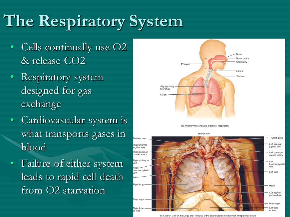 4 Respiratory System Anatomical Terms Nose Pharynx = throat Larynx = voice box Trachea = windpipe Bronchi = airways Lungs Terms to indicate locations of respiratory infections: –upper respiratory tract is above vocal cords –lower respiratory tract is below vocal cords The conducting system consists of a series of cavities and tubes - nose, pharynx, larynx, trachea, bronchi, bronchiole, and terminal bronchioles - that conduct air into the lungs.