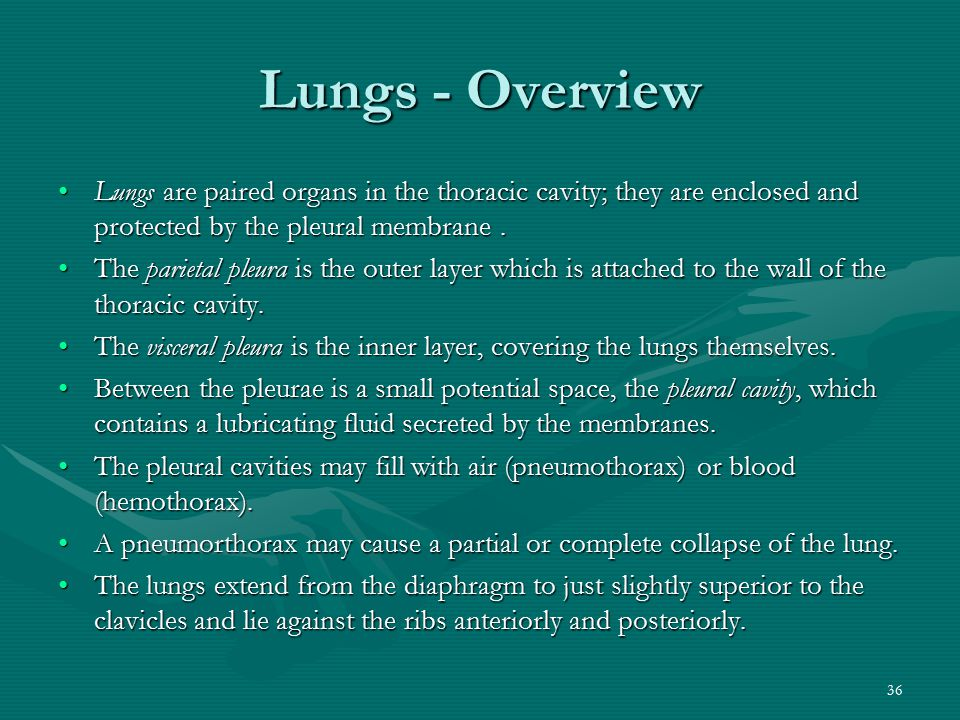 36 Lungs - Overview Lungs are paired organs in the thoracic cavity; they are enclosed and protected by the pleural membrane.Lungs are paired organs in