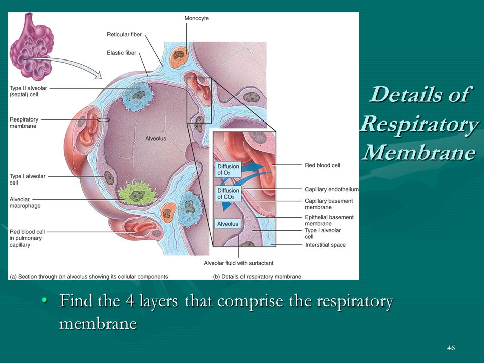 46 Details of Respiratory Membrane Find the 4 layers that comprise the respiratory membrane