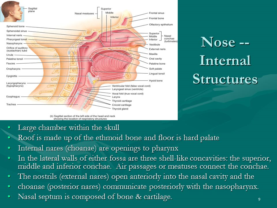 10 Functions of the Nasal Structures Specialized columnar epithelium called olfactory epithelium lines the upper medial portion of the nasal cavity and responds to odors.Specialized columnar epithelium called olfactory epithelium lines the upper medial portion of the nasal cavity and responds to odors.