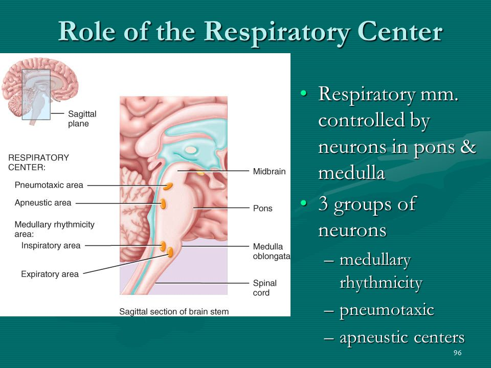 96 Role of the Respiratory Center Respiratory mm. controlled by neurons in pons & medullaRespiratory mm. controlled by neurons in pons & medulla 3 gro