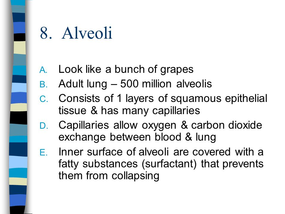 8. Alveoli A. Look like a bunch of grapes B. Adult lung – 500 million alveolis C. Consists of 1 layers of squamous epithelial tissue & has many capill