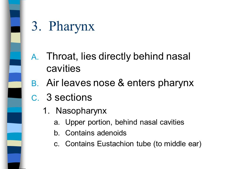 3. Pharynx A. Throat, lies directly behind nasal cavities B. Air leaves nose & enters pharynx C. 3 sections 1.Nasopharynx a.Upper portion, behind nasa