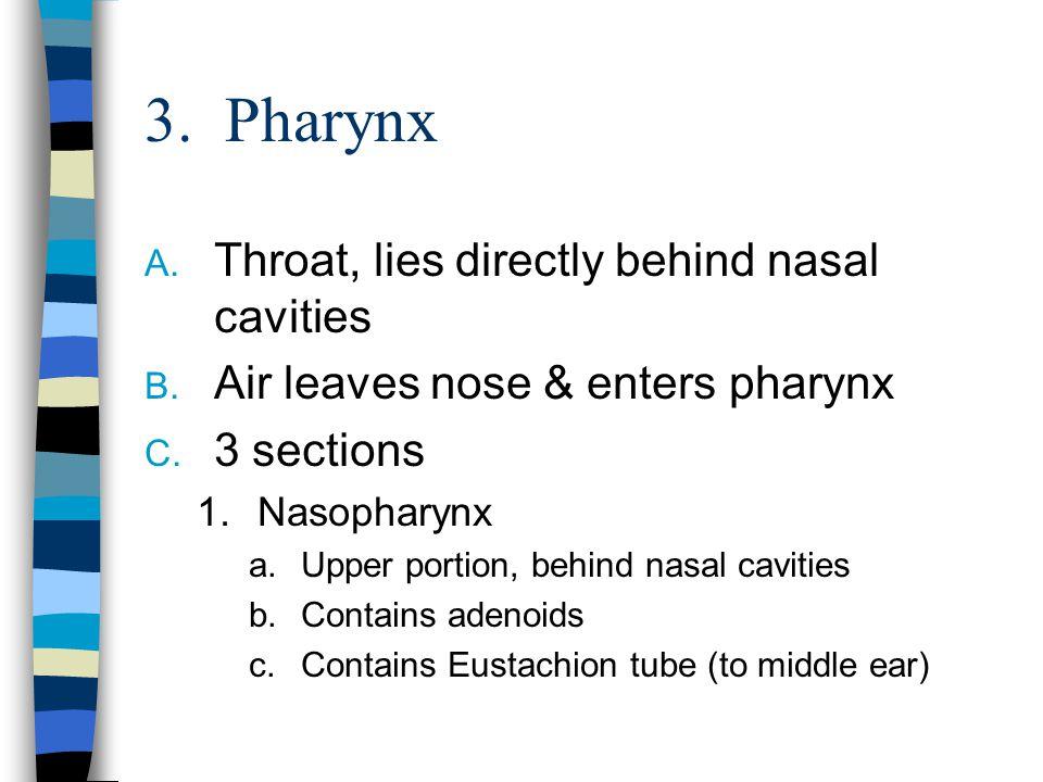 3.Pharynx A. Throat, lies directly behind nasal cavities B.
