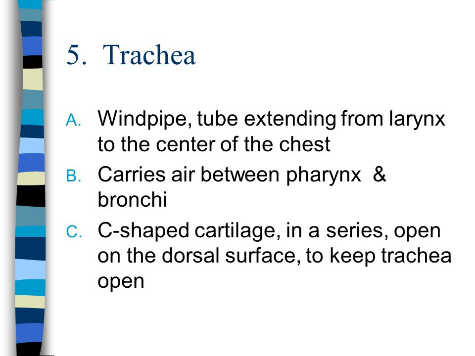 5. Trachea A. Windpipe, tube extending from larynx to the center of the chest B. Carries air between pharynx & bronchi C. C-shaped cartilage, in a ser