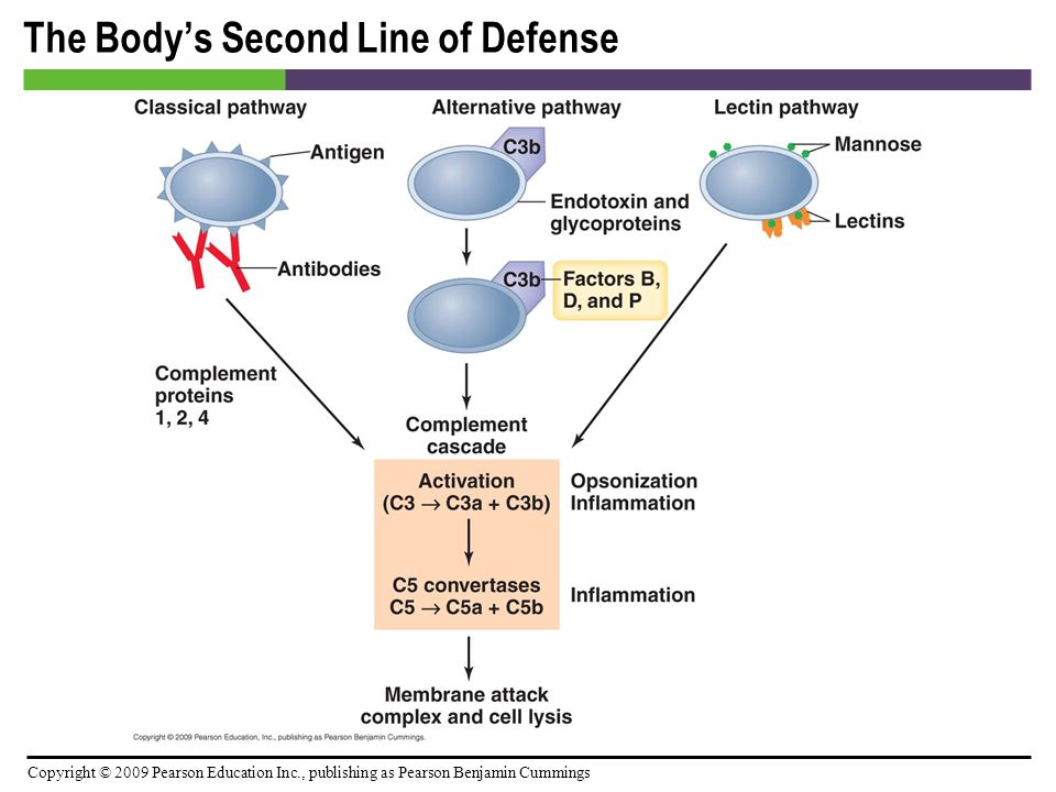 Copyright © 2009 Pearson Education Inc., publishing as Pearson Benjamin Cummings The Body's Second Line of Defense [INSERT FIGURE: 15.10]