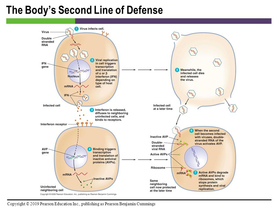 Copyright © 2009 Pearson Education Inc., publishing as Pearson Benjamin Cummings The Body's Second Line of Defense [INSERT FIGURE: 15.13]