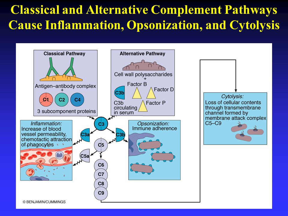 Classical and Alternative Complement Pathways Cause Inflammation, Opsonization, and Cytolysis