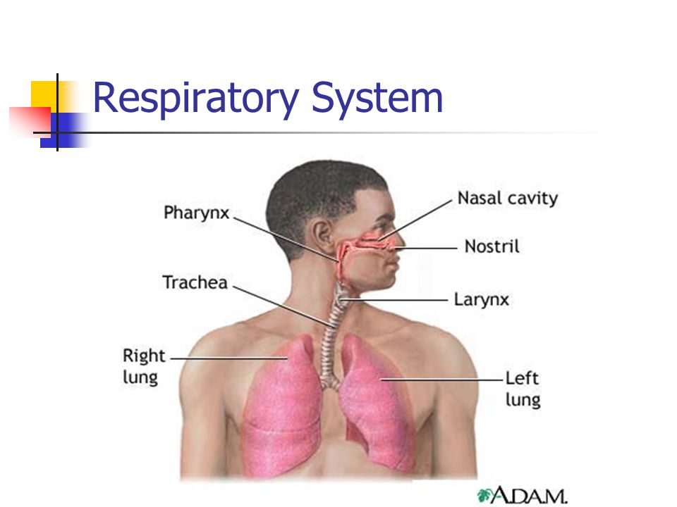 Upper Airways Nose Paranasal sinuses Pharynx