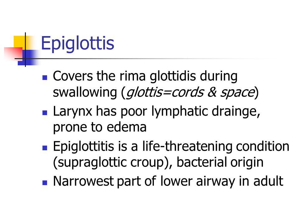 Epiglottis Covers the rima glottidis during swallowing (glottis=cords & space) Larynx has poor lymphatic drainge, prone to edema Epiglottitis is a lif