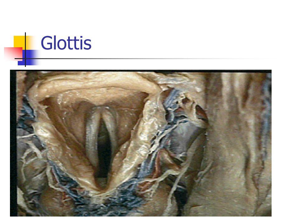 Glottis