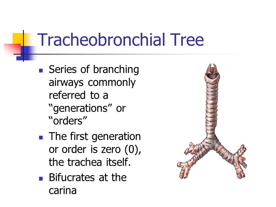 """Tracheobronchial Tree Series of branching airways commonly referred to a """"generations"""" or """"orders"""" The first generation or order is zero (0), the trac"""