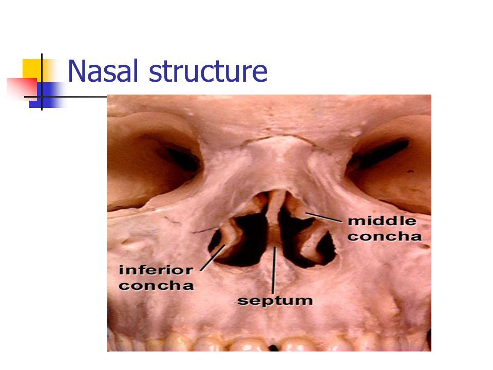 Nares and Nasal Cavity