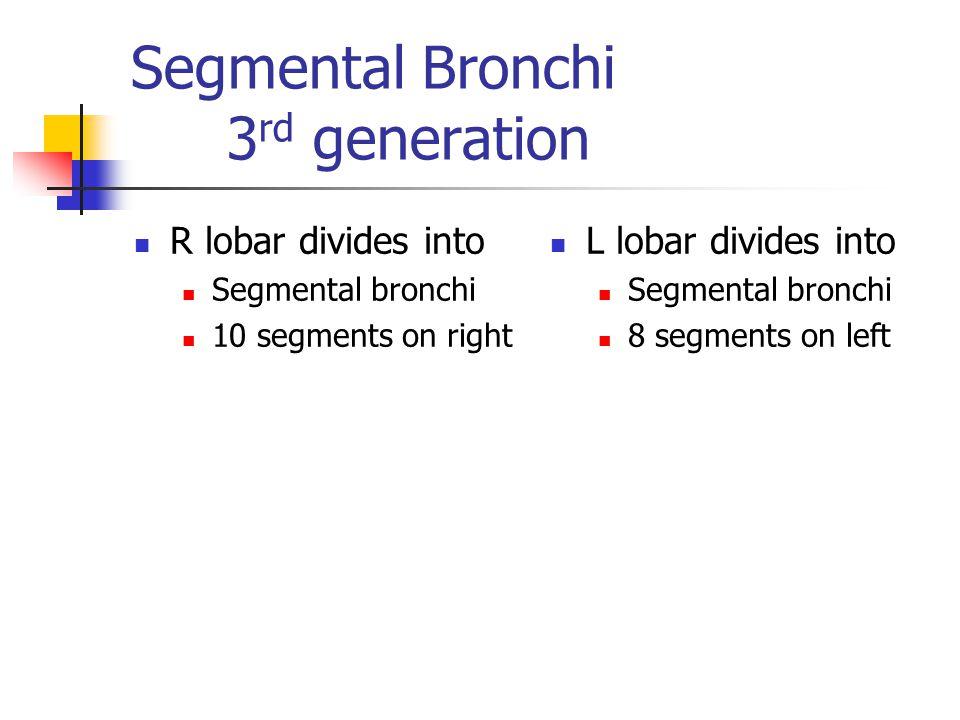 Segmental Bronchi 3 rd generation R lobar divides into Segmental bronchi 10 segments on right L lobar divides into Segmental bronchi 8 segments on lef